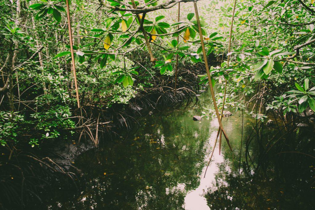 Mangrovníky